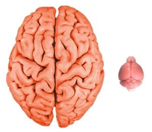 2_brains