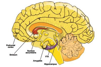 Fear, emotion and socialization: the role of the amygdala in the symptoms of autism (2/3)