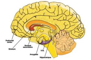 brain-parts-amygdala-mpcxre0m