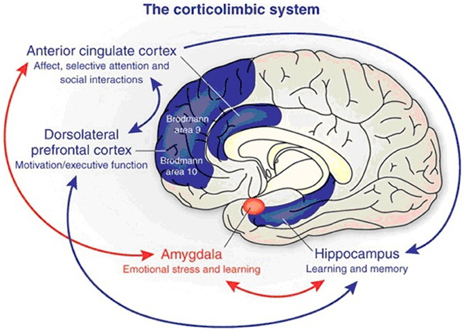Fear, emotion and socialization: the role of the amygdala in the symptoms of autism (1/3)