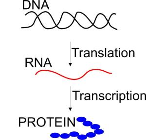 dna_rna_protein