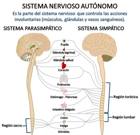 parasimpatico-s-n-autonomo-